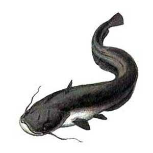 Как нарисовать рыбу сома пошагово